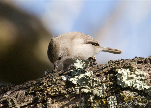 Oak Titmouse with lunch