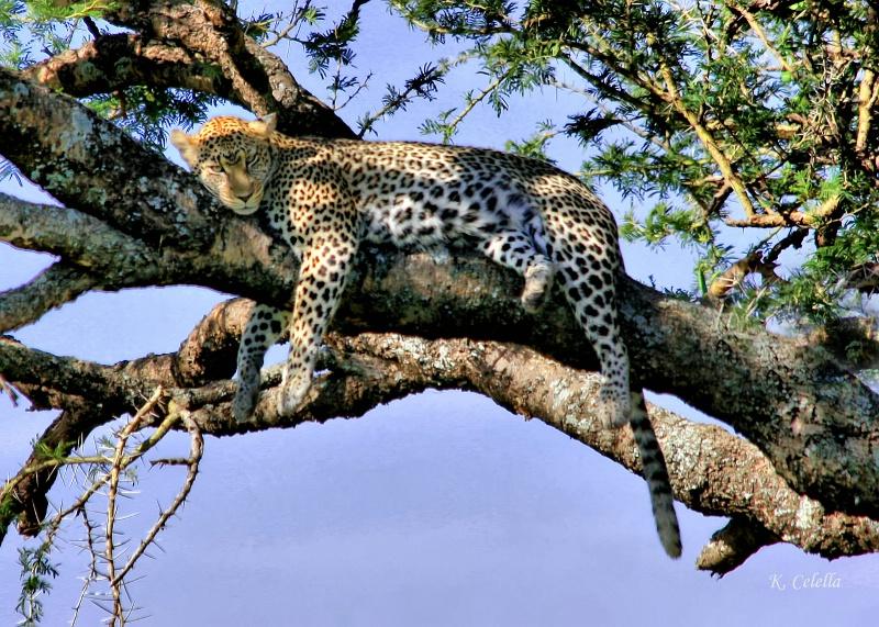 Serengeti Leopard Time