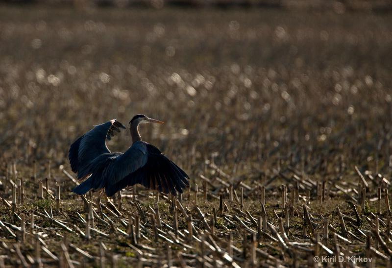 Great Bule Heron  (Ardea herodias)1-March