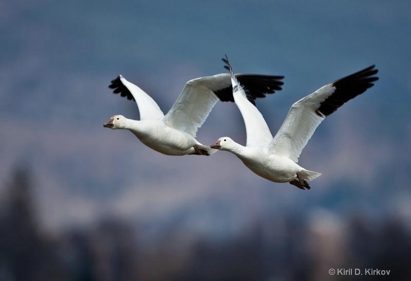 Snow Goose (Anser caerulescens)March-3