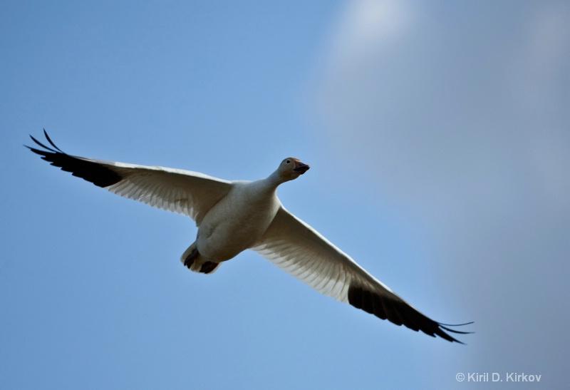 Snow Goose (Anser caerulescens)March-5