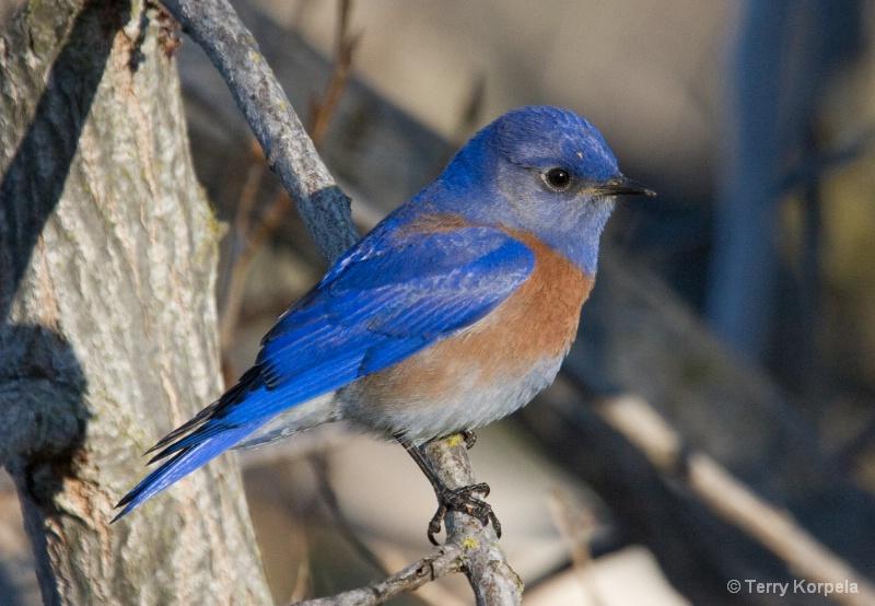Western Bluebird male