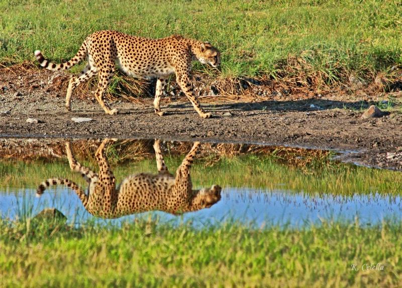 Cheetah Reflection