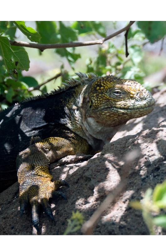 Female Land Iguana 2