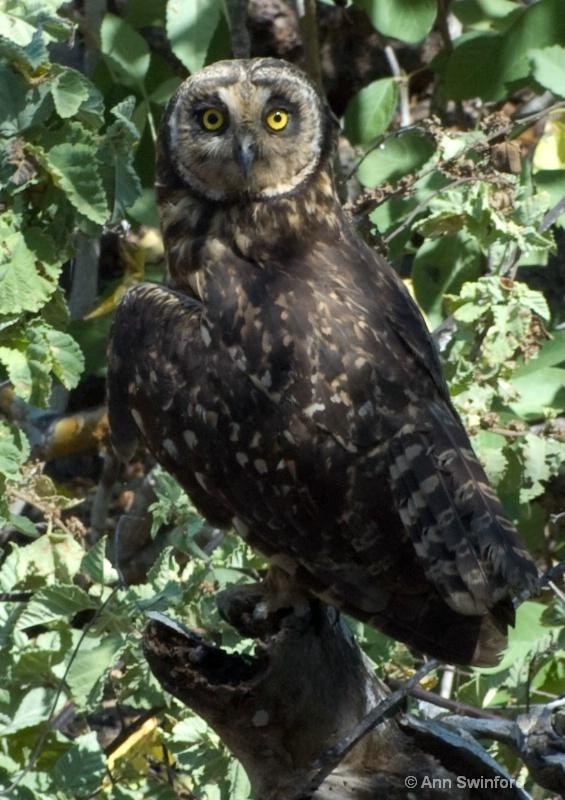 Short-earred owl