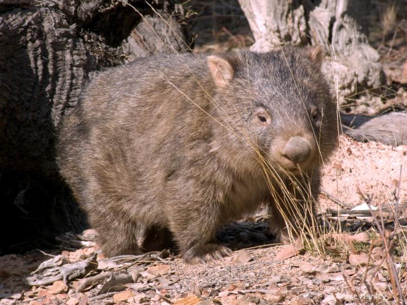 Wombat, Native Australian animal