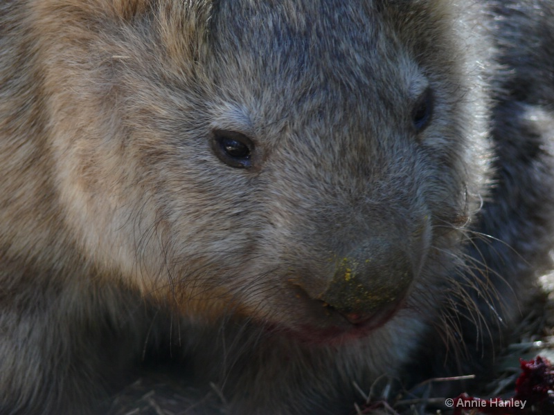 Wombat's face