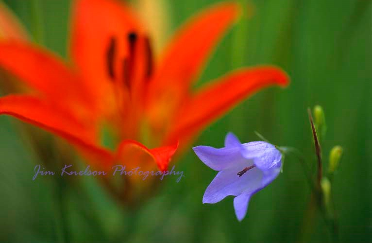 Lily  and Harebell