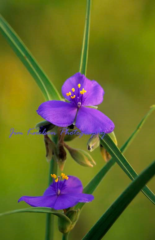Spiderwort, Douglas Provincial Park