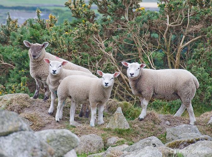 Curious Sheep