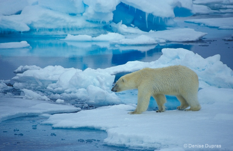 Polar Bear at Ice Edge