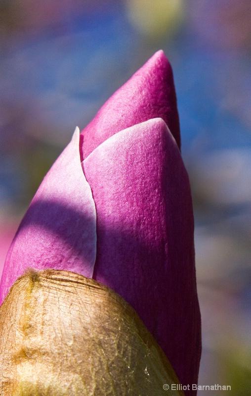 magnolia bud 2