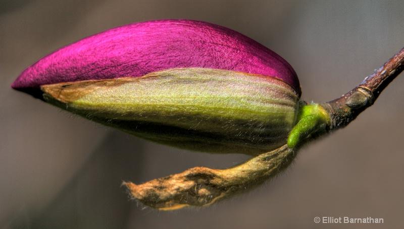 magnolia bud 5