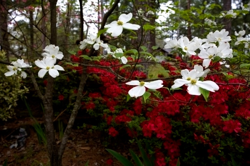 White Dogwood in Azeala Bed