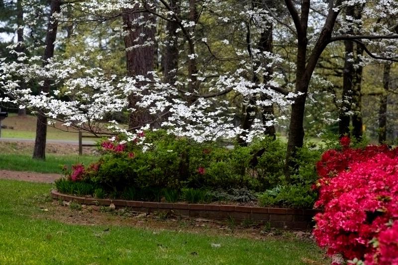 Front yard dogwood