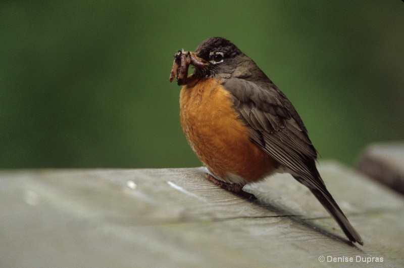 American Robin with Worm