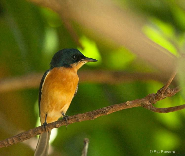 Vanikora Flycatcher, Fiji