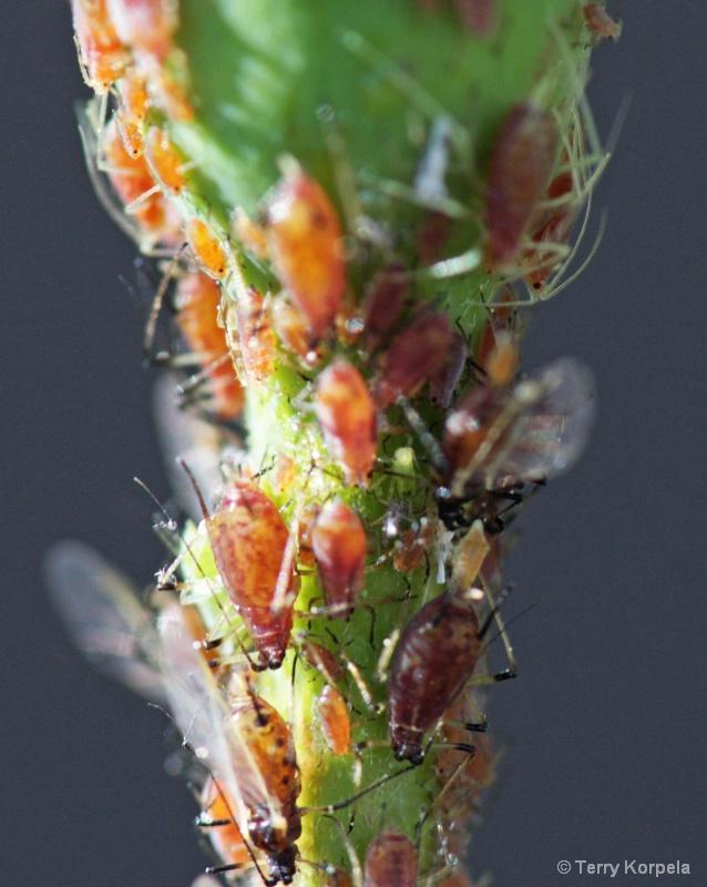 bugs on rose bush