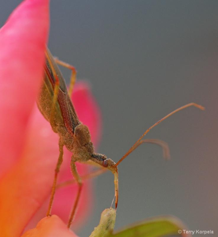 praying mantis on rose bush