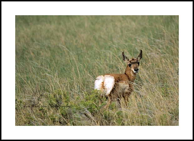 Grasslands NP Pronghorn Antelope kid