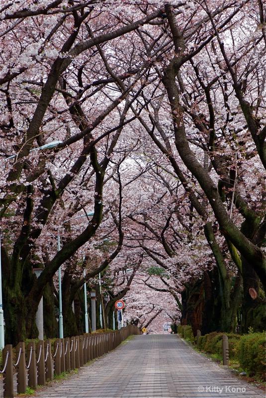 Aoyama Cemetery Cherry Trees Spring