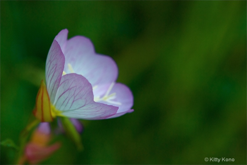Pink Wild Flower in Aoyama Cemetery - Tokyo
