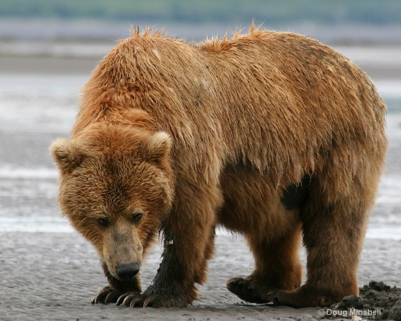 Brown Bear digging clams.