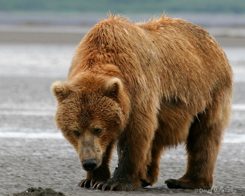 Brown Bear sniffing for clams.