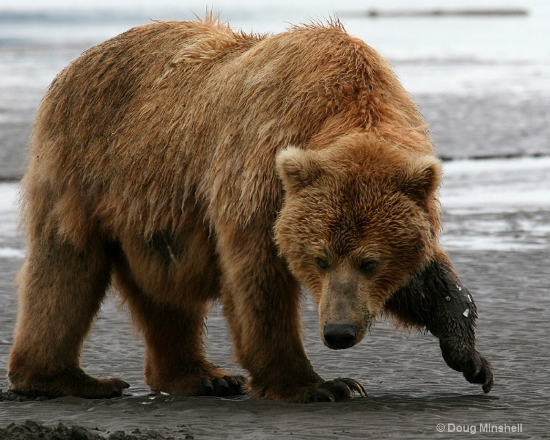 Brown Bear clamming.