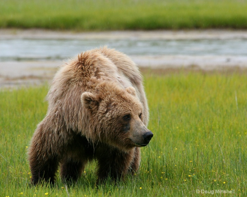 Brown Bear looking around.