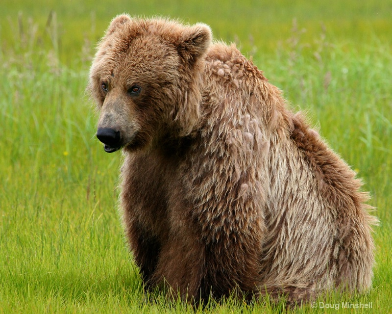 Brown Bear sitting.