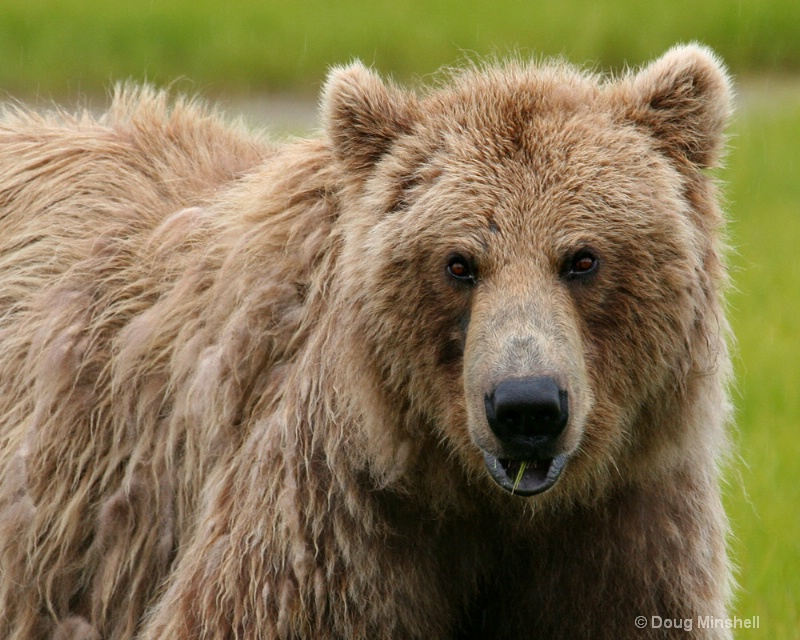 Brown Bear looking at me.