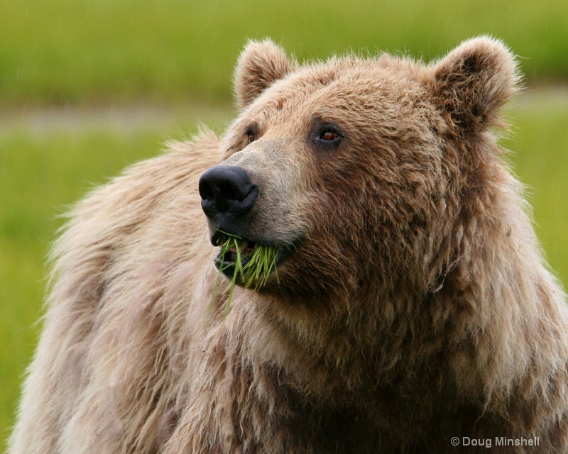Brown Bear chewing grass.