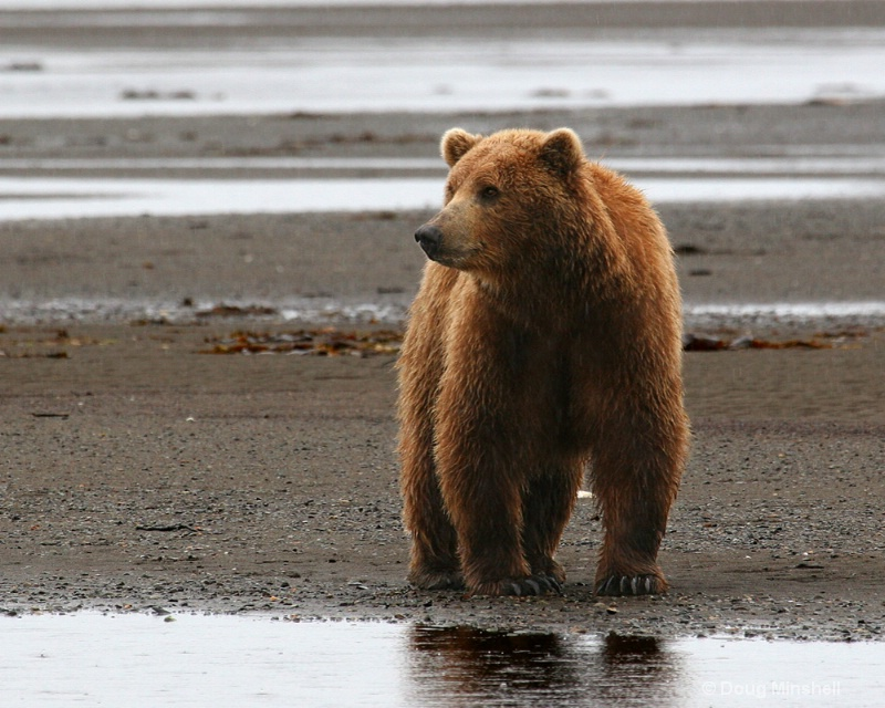 Brown Bear looking for dinner.