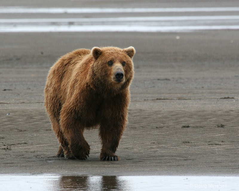Brown Bear on the beach.