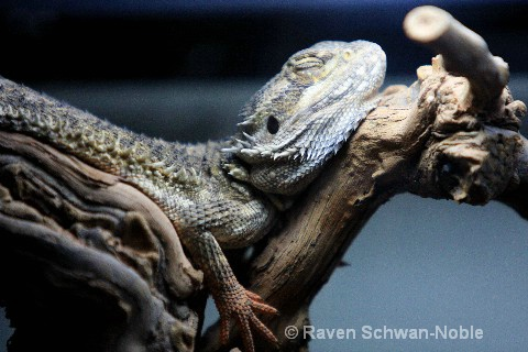 Bearded Lizard hanging out