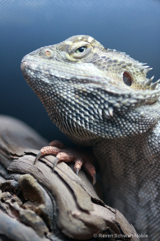 Bearded Dragon Lizard portrait