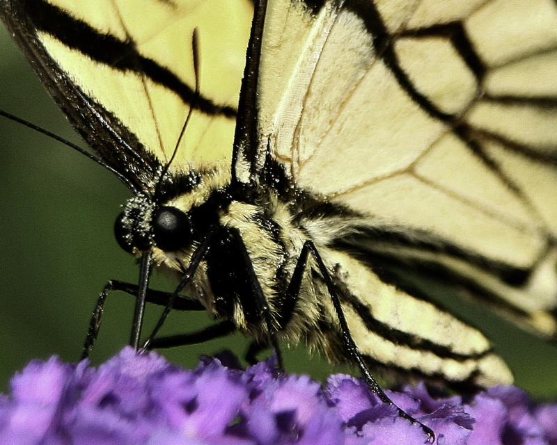 Pollen Coated Butterfly