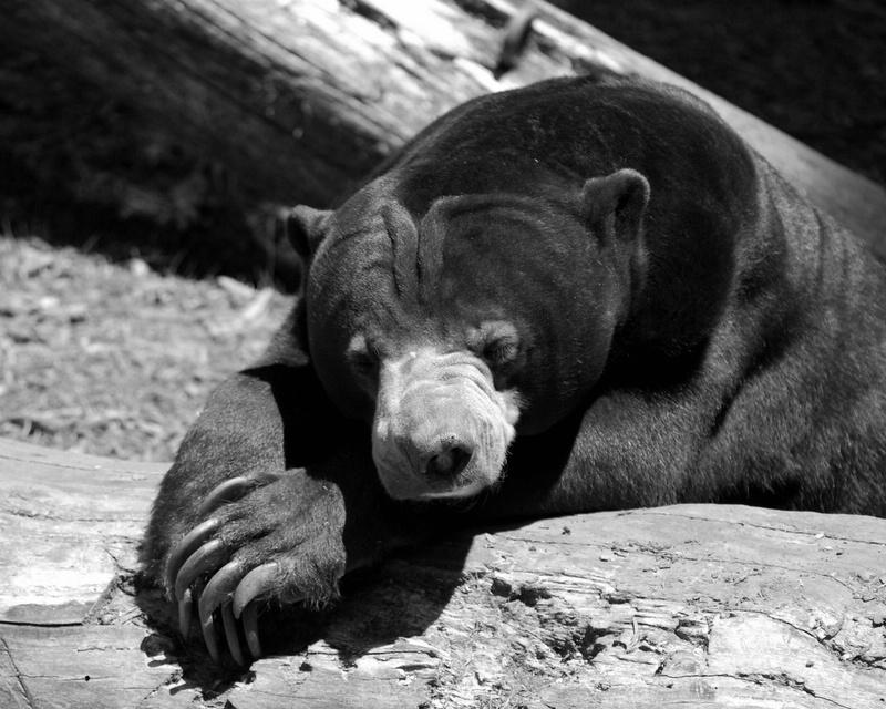 Malaysian (?) Bear - St Louis Zoo