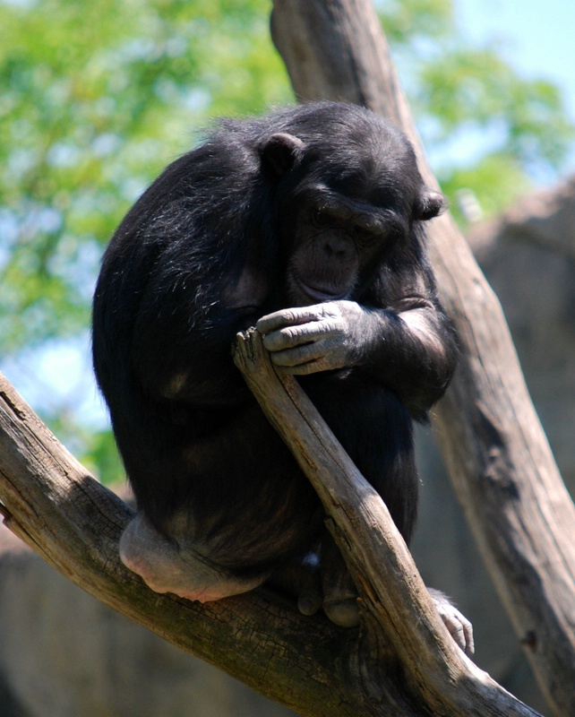 Chimp - St Louis Zoo