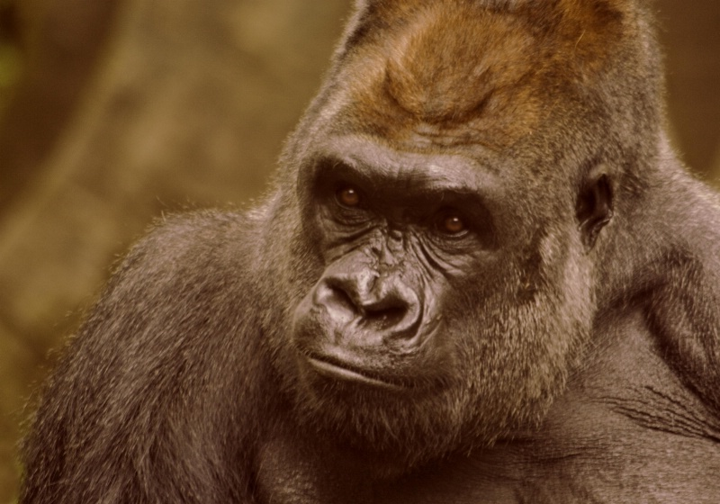 Portrait of the Silverback