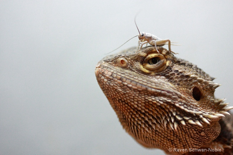 Bearded Dragon with Dinner
