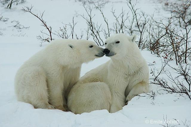 cub kiss