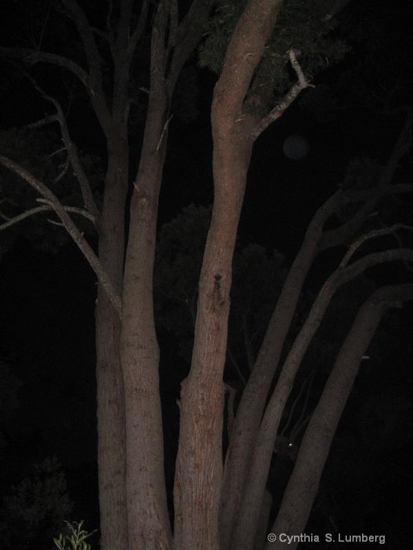 Moonlight Acacia