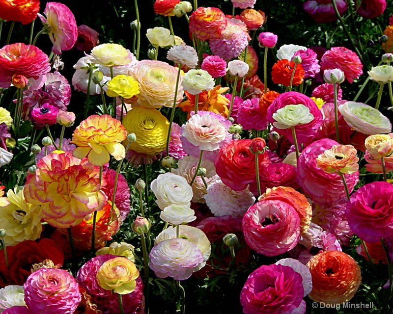 Bouquet of Rununculus