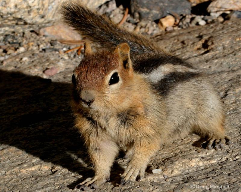 Curious Chipmunk