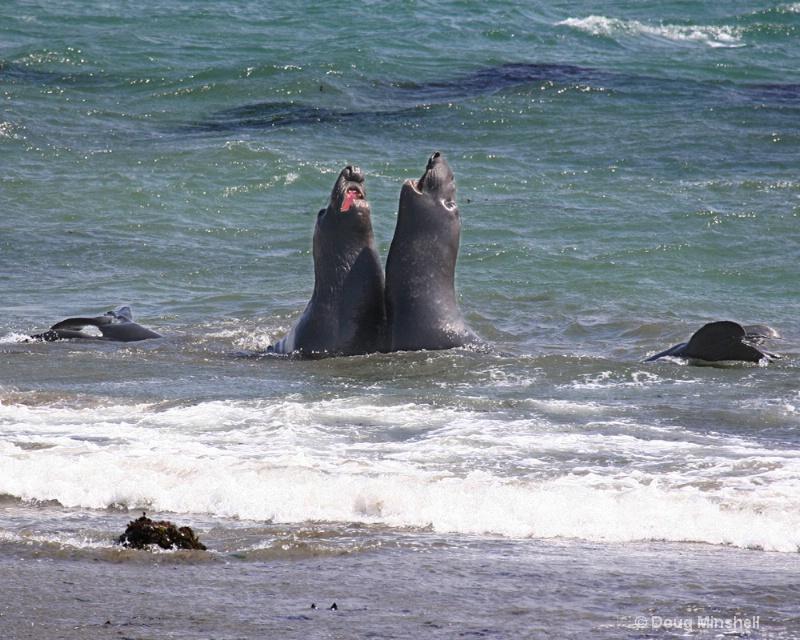 Elephant Seal Opera