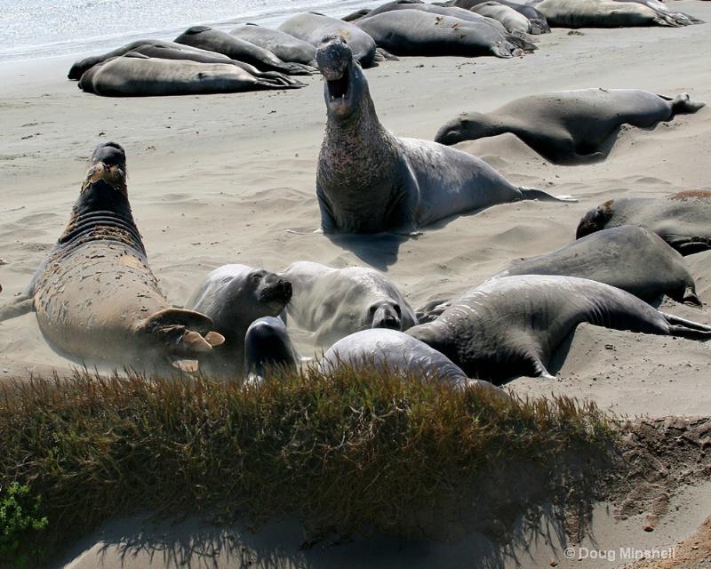 I am Elephant Seal, hear me roar