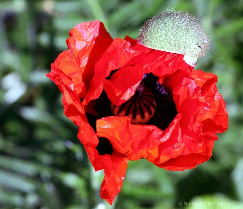 A Newborn Poppy