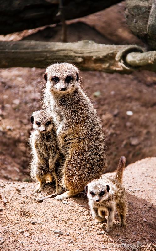 Surikats family